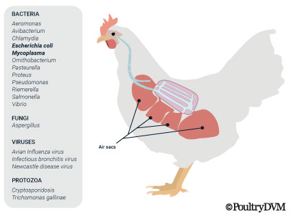 Airsacculitis causes in chickens