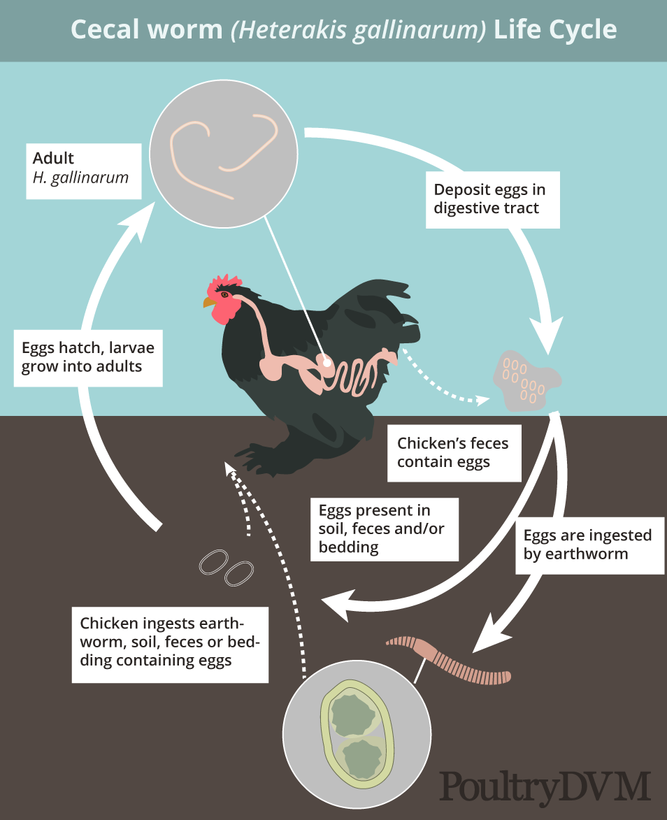 Cecal worm life cycle