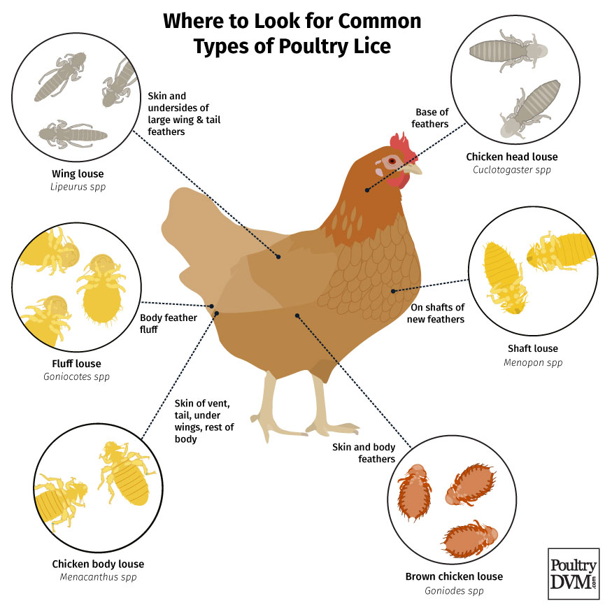 Common types of poultry Lice found on chickens