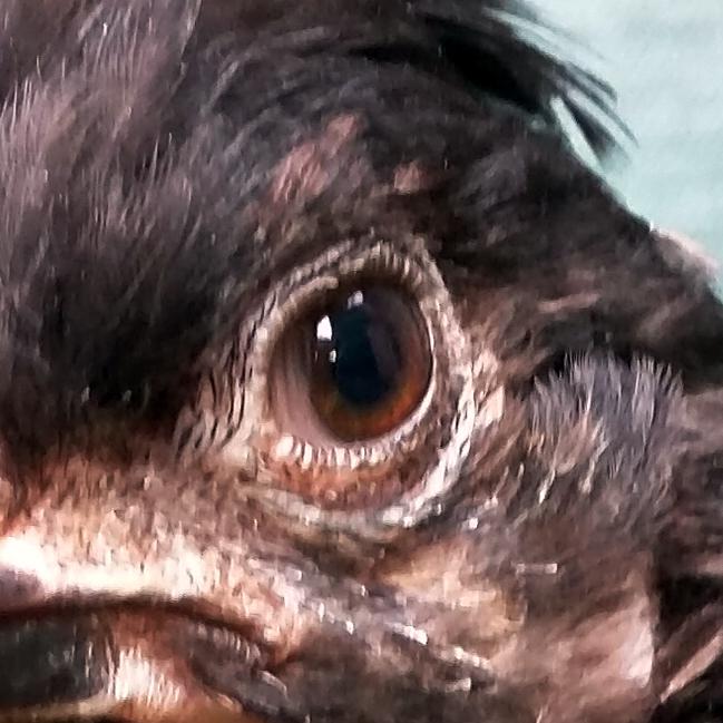 CREDIT: PoultryDVM.com