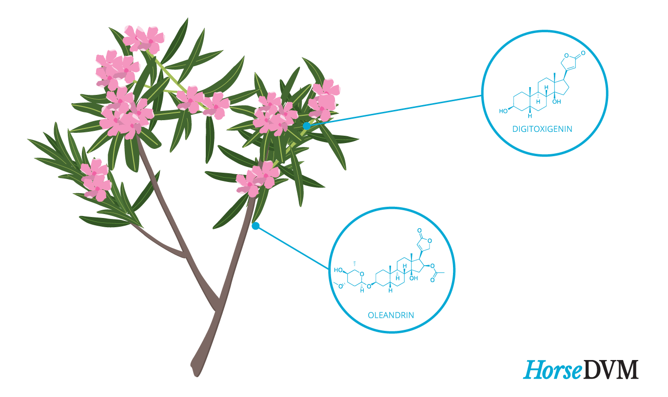 Oleander toxic chickens