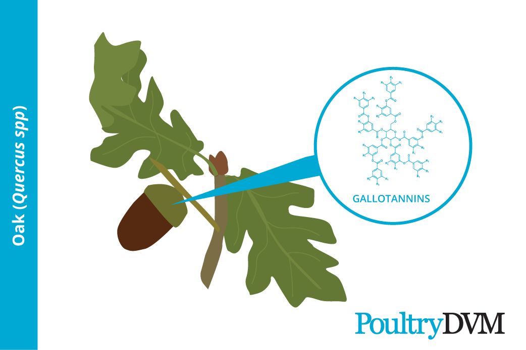 Toxic components in acorns to poultry