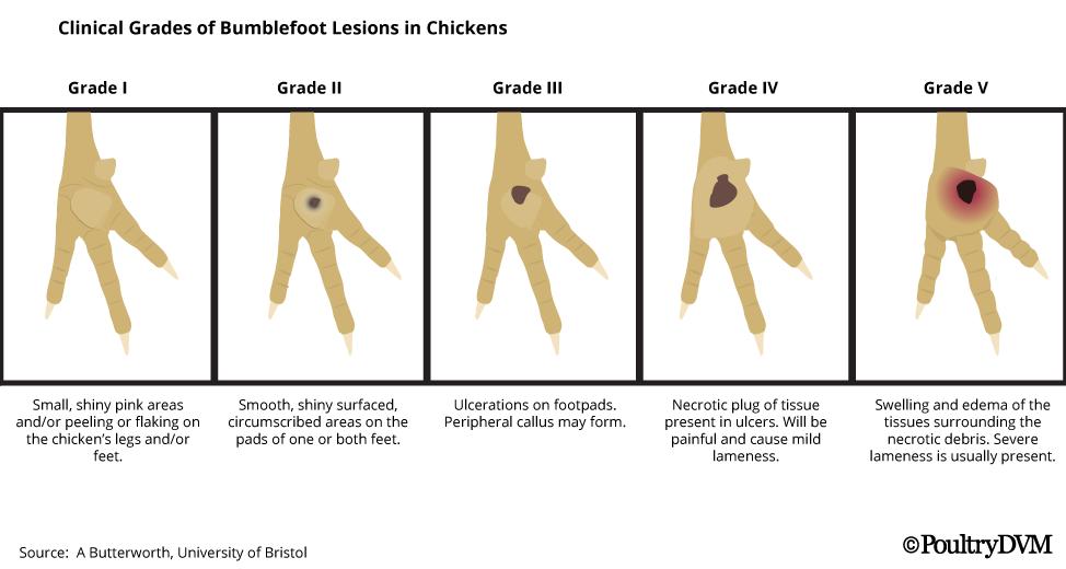 CREDIT: PoultryDVM