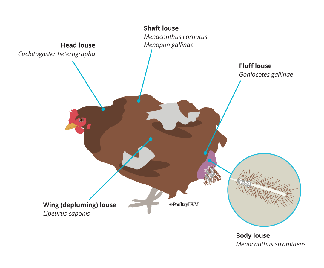 where to look for lice on chickens