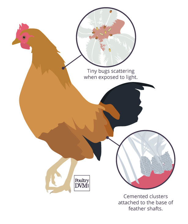Signs of poultry lice in chickens