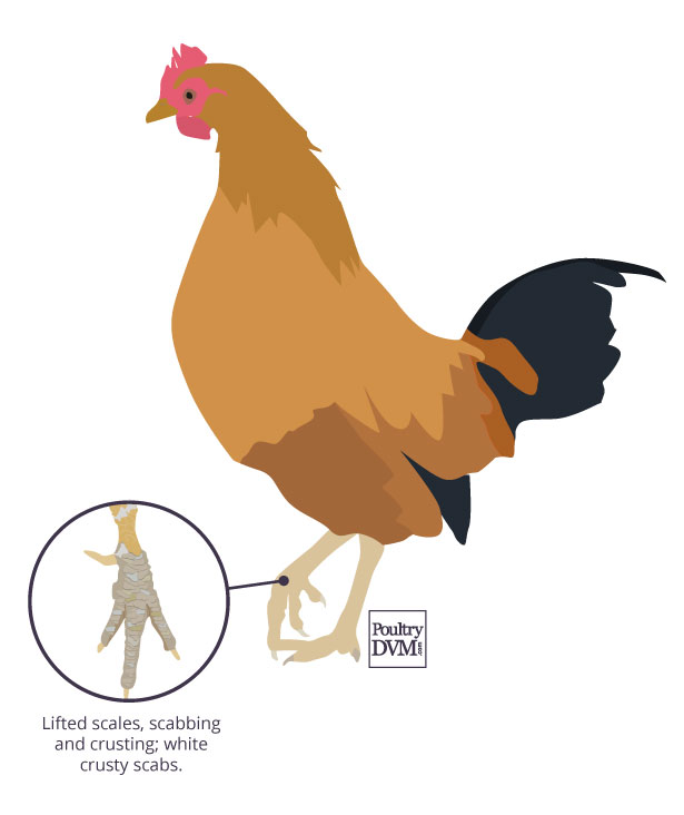 Signs of scaly leg mites in chickens