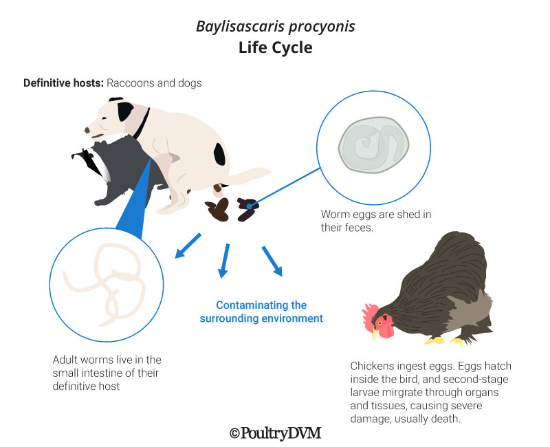 Raccoon Roundworm Life Cycle Chickens