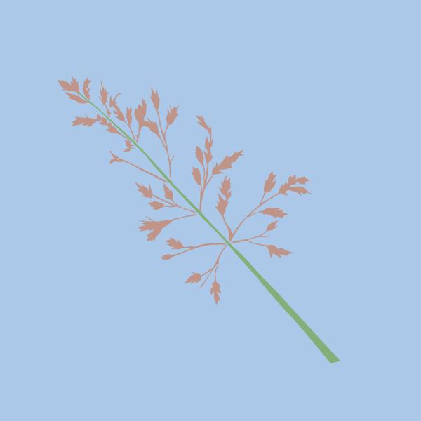 johnson_grass