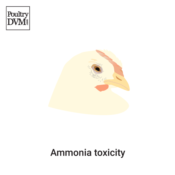 Ammonia toxicity in Chickens