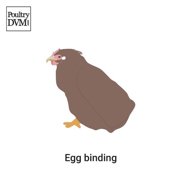 Egg Binding In Chickens