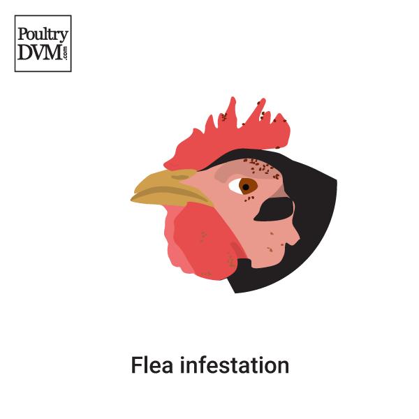 fleas poultrydvm