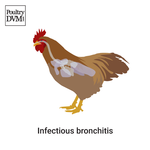 infectious bronchitis chickens Infectious bronchitis (ib) is one of the major economically important poultry diseases distributed worldwide it is caused by infectious bronchitis virus (ibv) and affects both galliform and nongalliform birds.