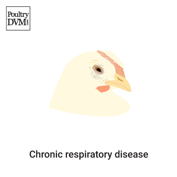 Chronic respiratory disease (MG infection) in Chickens