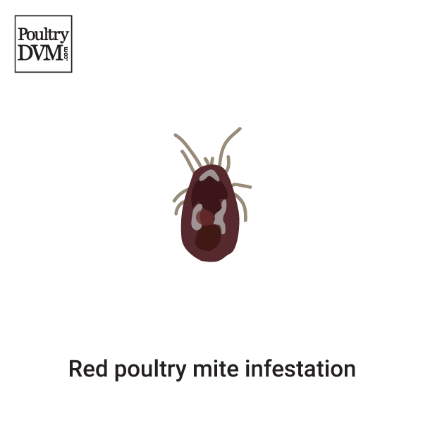 Red poultry mites in Chickens