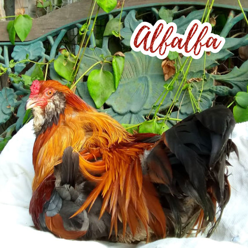Alfalfa the Rooster photograph