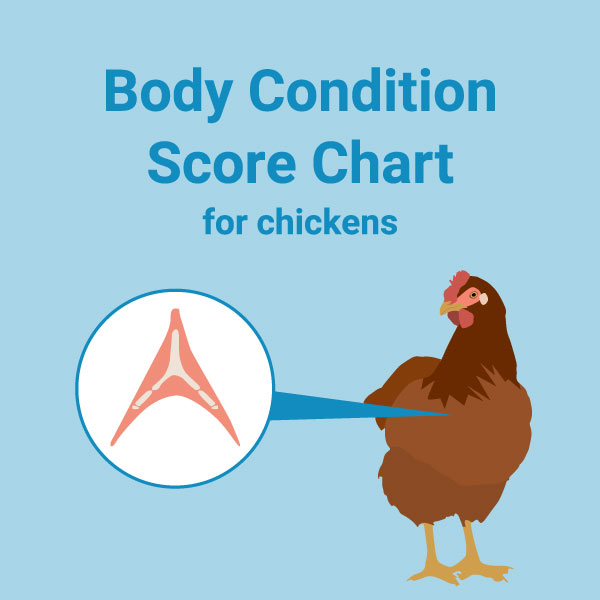 Chart: Body Condition Score for Chickens