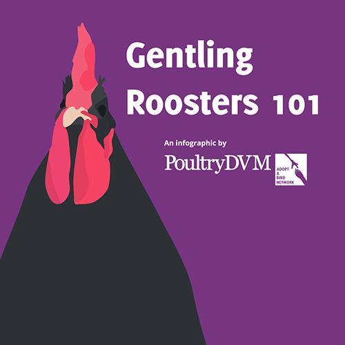 'Gentling' Roosters 101