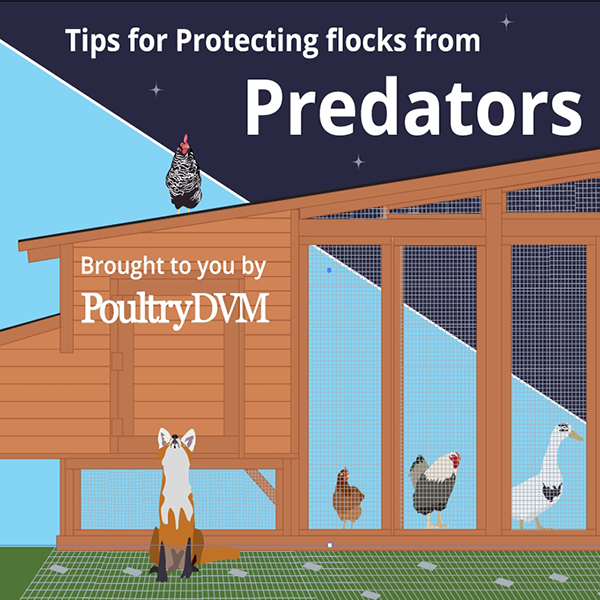 Tips for Protecting Backyard Flocks from Predators