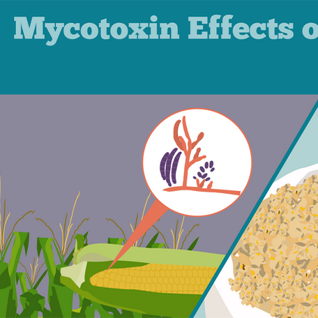 Mycotoxin Effects on Poultry Infographic