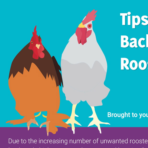 Tips for Keeping Bachelor Flocks
