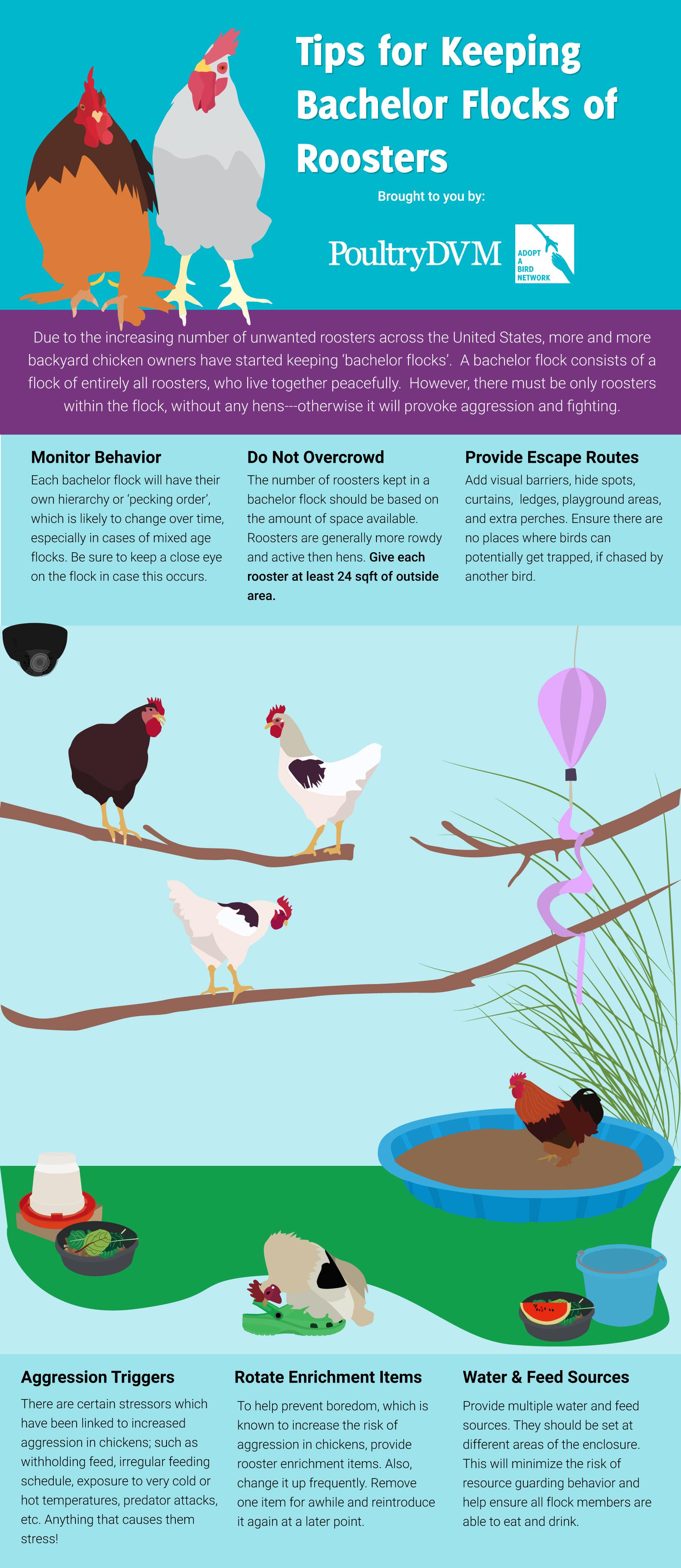 PoultryDVM - Tips for Keeping Bachelor Flocks