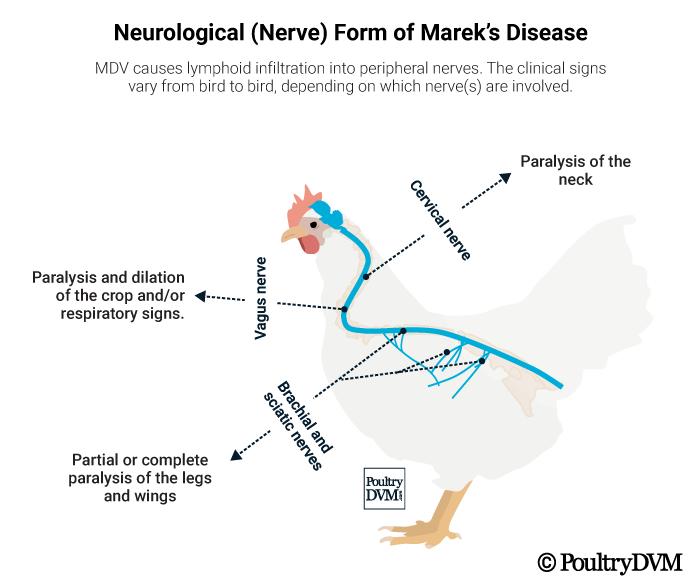 Marek S Disease In Chickens
